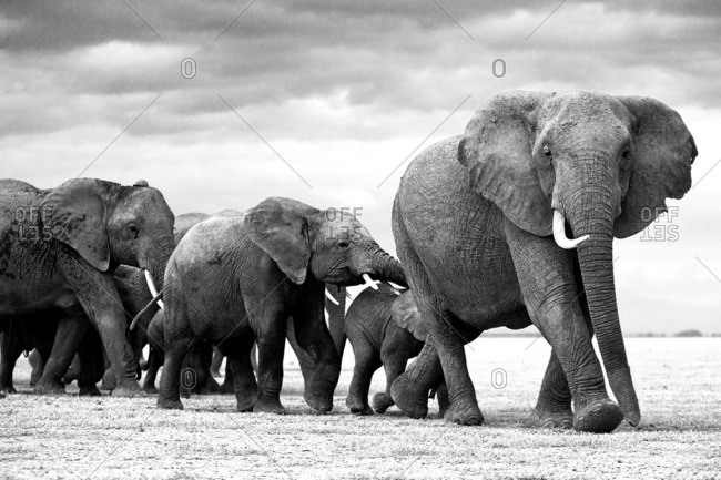 An elephant matriarch leading her herd, Kenya