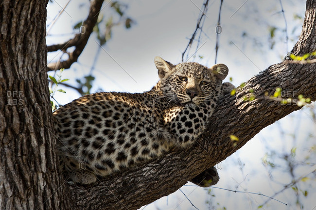 A leopard cub resting in a tree, Londolozi, South Africa