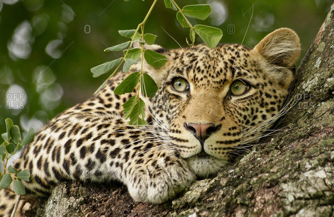 Close-up of a leopard lying in a tree, Londolozi, South Africa
