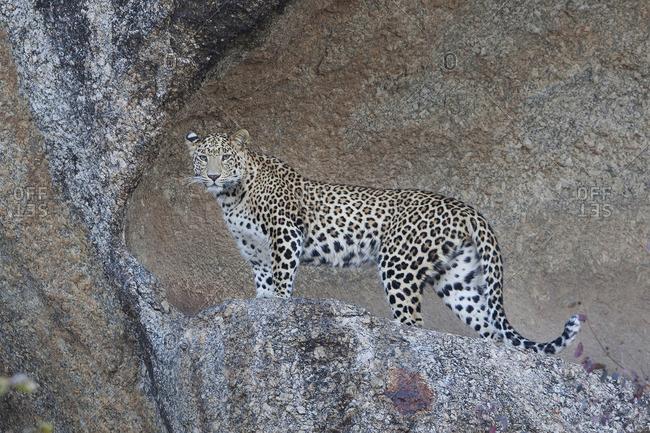 Leopard standing, Jawai, India - Offset