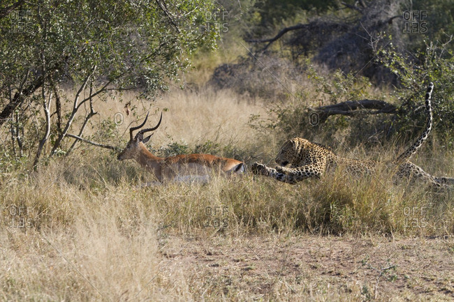 A leopard chasing a impala, Londolozi, South Africa