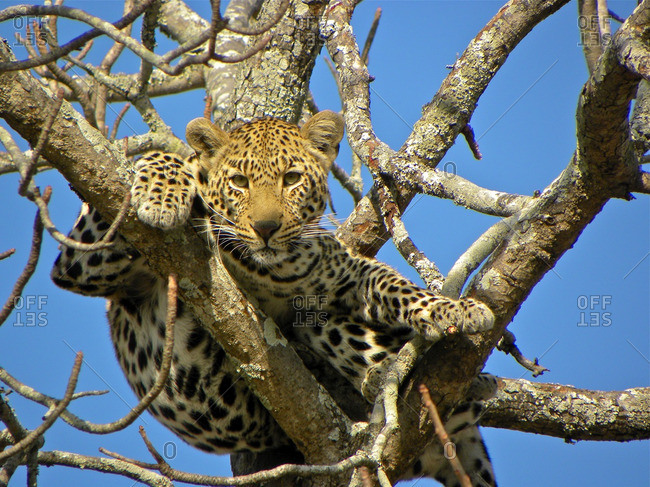 Leopard relaxing up in a tree, Londolozi, South Africa
