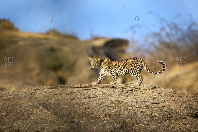 Leopard walking on a large rock, Jawai, India