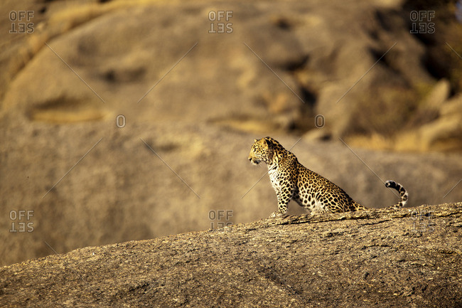 Leopard sitting on a large rock, Jawai, India