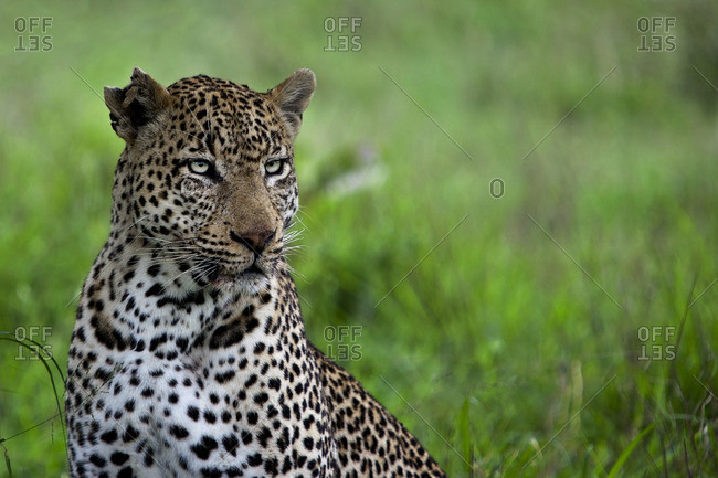 Close-up of a leopard, Londolozi, South Africa
