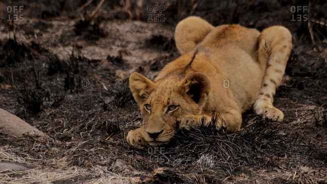 A lioness ready to pounce, Londolozi, South Africa