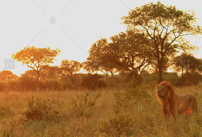 A lone lion standing in the distance, Londolozi, South Africa