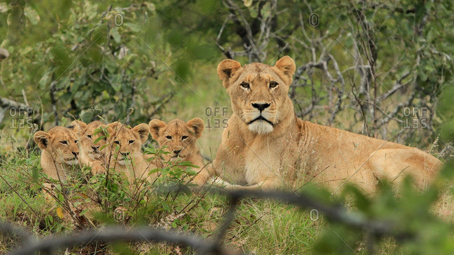 A lioness sitting with her cubs, Londolozi, South Africa
