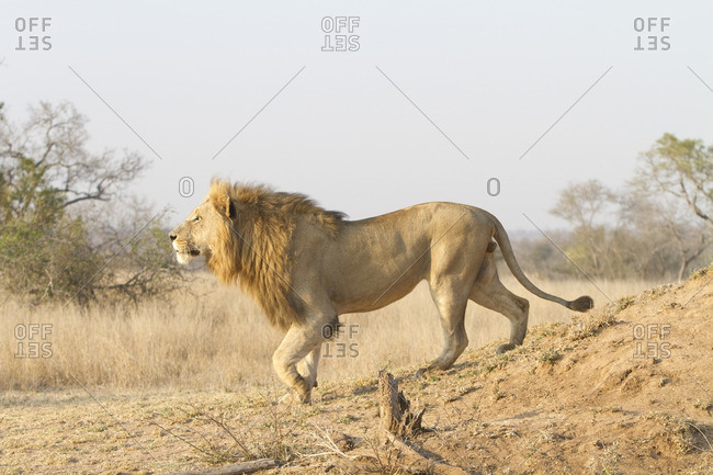 A male lion coming down termite mound, South Africa