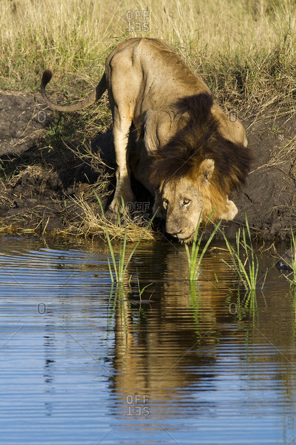 Lion drinking at a watering hole, South Africa