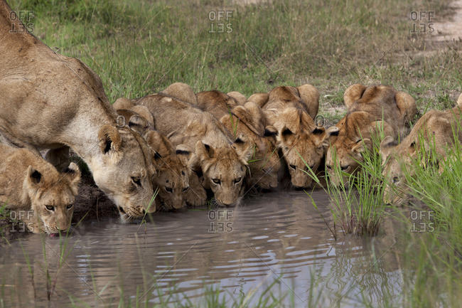 Lioness and lion cubs drinking from a watering hole, South Africa