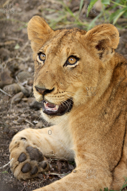 Close-up of a lion cub, Londolozi, South Africa