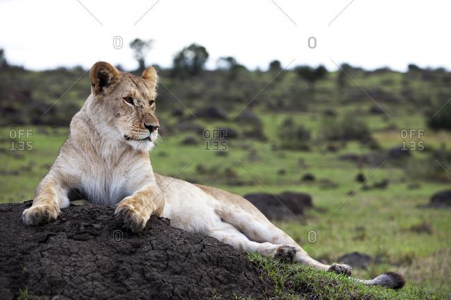 A lioness resting on a termite mound, Maasai Mara, Kenya