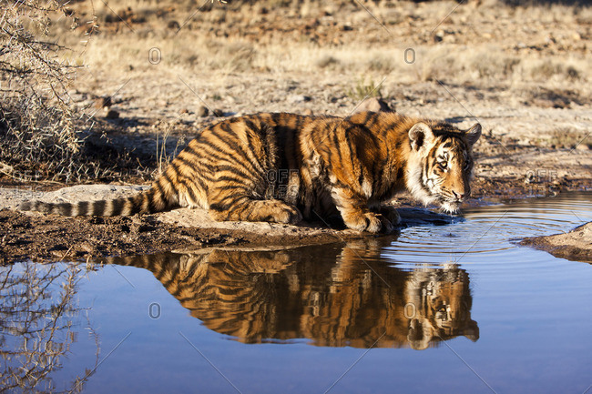 Tiger drinking water, South Africa