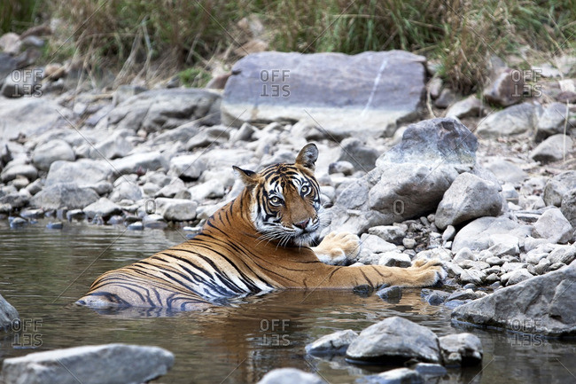Tiger lying in water, India