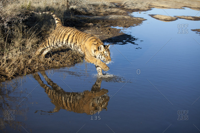 Tiger jumping in water, South Africa