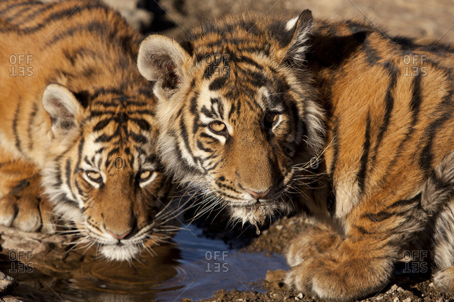Close-up of a young tigers drinking water, South Africa