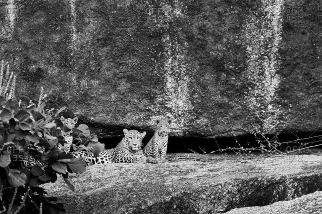 Leopard and cub, Jawai, Rajasthan, India