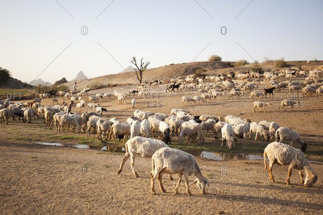 Flock of sheep, Jawai, Rajasthan, India
