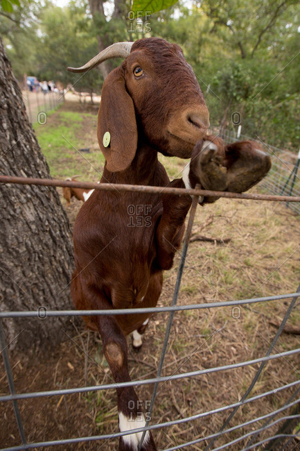 Goat with its hoof on a wire fence