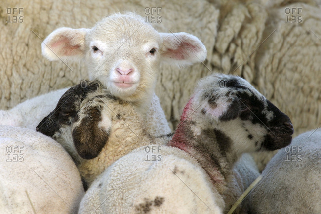 Merino sheep lambs resting
