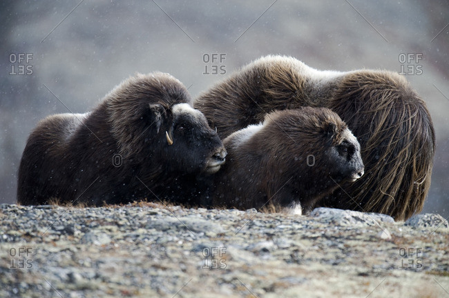 Musk oxen in the tundra