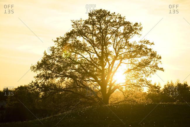 Silhoutte of a tree