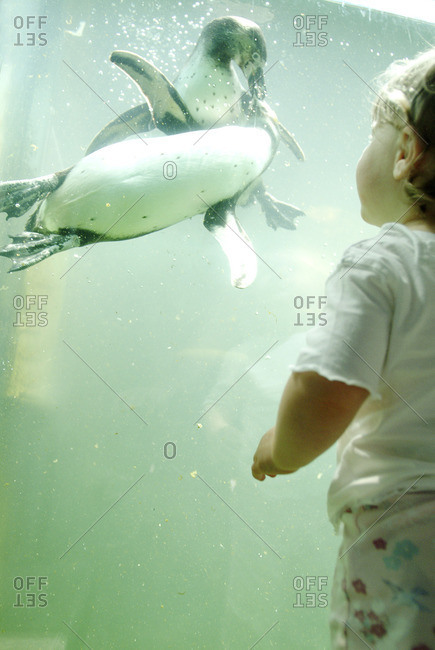 Little girl observing penguins in the zoo