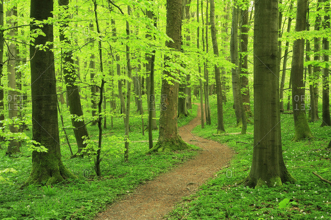 Path through beech forrest