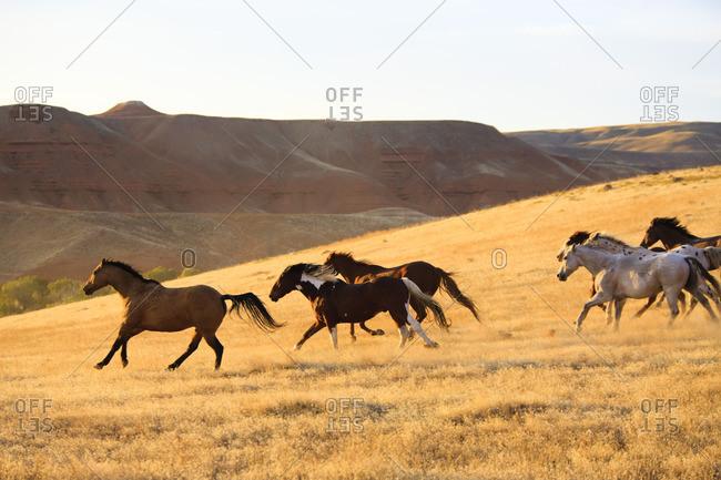 Herd of horses in gallop