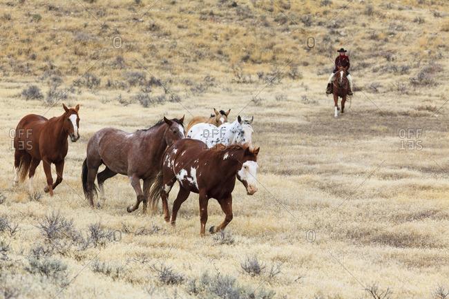 Cowboys drive a herd of horses