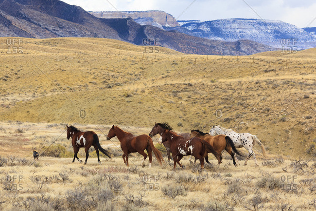 Cowboys drive a herd of horses on grasslands