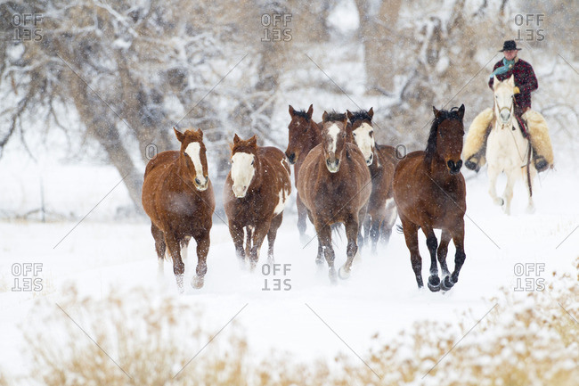 Cowboys drive a herd of horses through snow-covered pastures