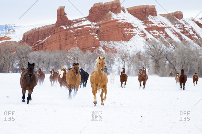 Cowboys driving horses over snow-covered pastures