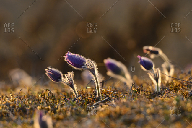 Close-up of common pasque flowers
