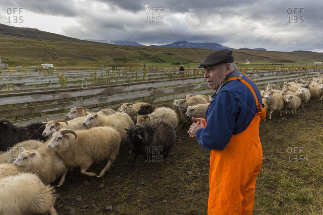 Svinavatn, Iceland - September 10, 2015: Icelandic farmer sorts sheep at the annual autumn sheep roundup in Svinavatn, Iceland. Every year in September, over 10,000 Icelandic sheep are herded back home after grazing freely throughout the mountains and valleys all summer. This sheep roundup, called Rettir, is one of Iceland's oldest cultural traditions