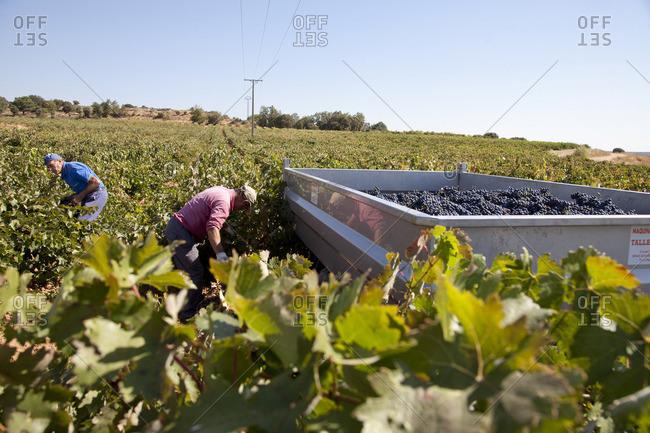 Ribera del Duero, Spain - September 30, 2016: Two men harvesting grapes at Ribera del Duero, Spain