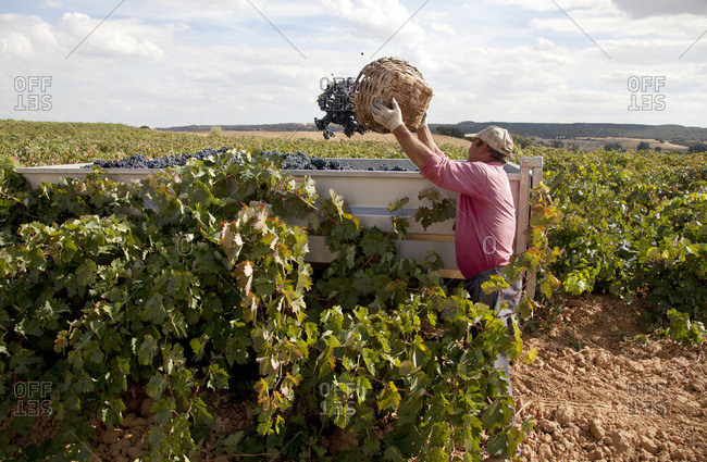 Ribera del Duero, Spain - September 30, 2016: Man dumping basket full of grapes into a bin at Ribera del Duero, Spain