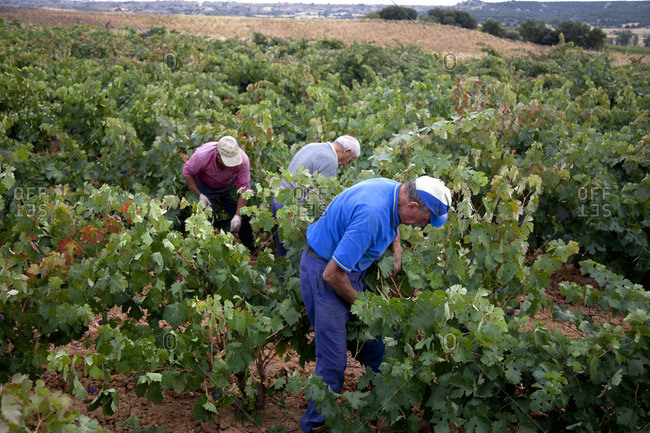 Ribera del Duero, Spain - September 30, 2016: Three men harvesting grapes at Ribera del Duero, Spain