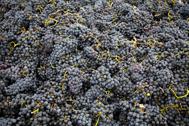 Large pile of grapes at Ribera del Duero, Spain