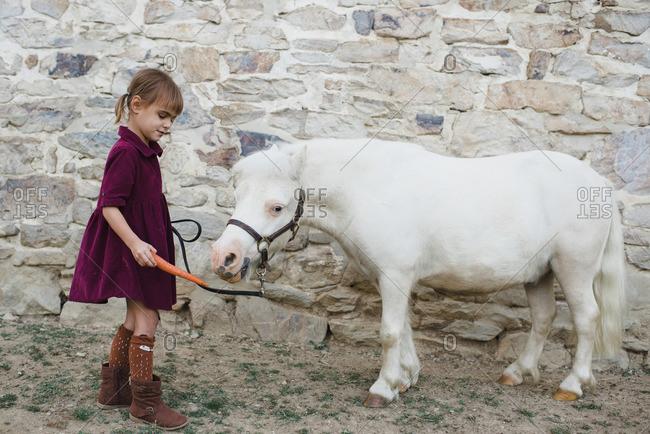 Little girl feeding a white pony a carrot
