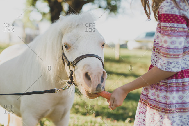 Close up of a girl feeding a white pony a carrot