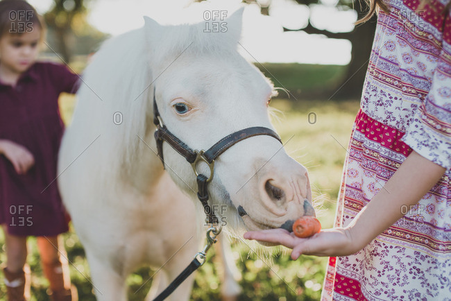 Close up of a white pony a eating carrot from child's hand