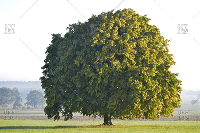Germany- Upper Bavaria- Landsberied- Linden tree in morning sun