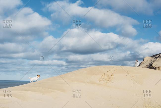 Denmark- North Jutland- dog in sand dune at lighthouse Rubjerg Knude