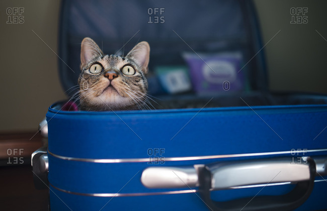 Tabby cat inside of blue suitcase