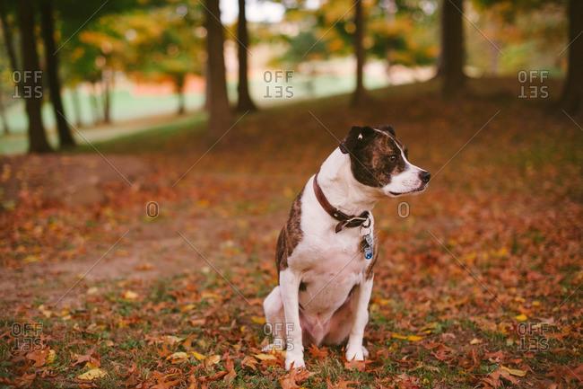 An alert dog in fall setting