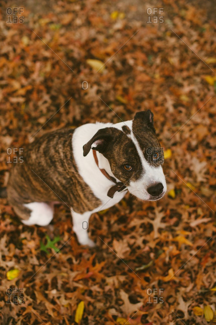 Dog looking up in fall setting