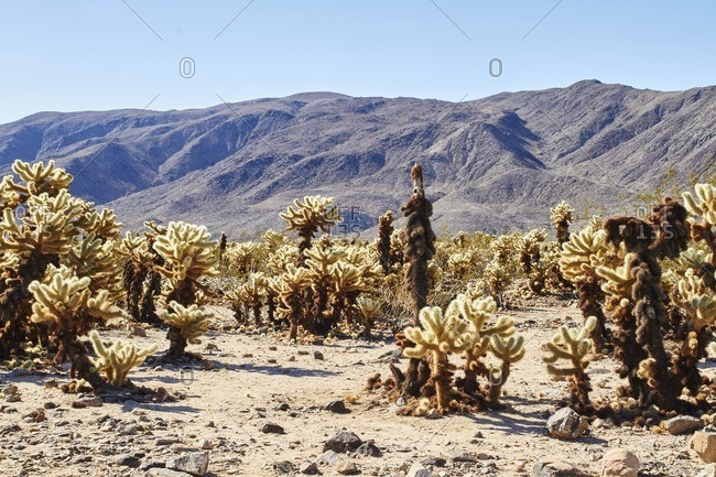 Cactus plants in western setting