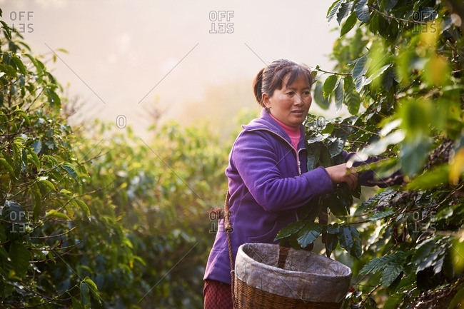 Yunna, China - March 7, 2016: Woman in field harvesting coffee